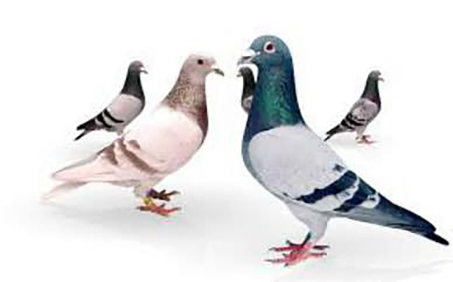 H Beattie Pigeon Feed